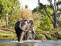 Camp Elephant Bath Self River Scene Mudumalai Mar21 A7C 00419.jpg