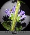 Campanula cervicaria sl4.jpg