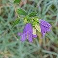 Campanula trachelium in La Jaysinia (1).jpg
