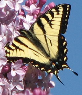 CanadianTigerSwallowtail.small.jpg