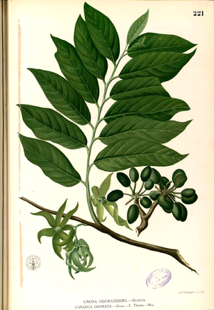 Cananga odorata - Cananga odorata illustrated in Francisco Manuel Blanco's Flora de Filipinas