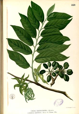 Cananga odorata - Cananga odorata illustrated in Francisco Manuel Blanco's Flora de Filipinas