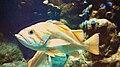 Canary Rockfish (Sebastes pinniger) 01.jpg