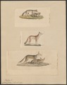 Canis corsac - 1700-1880 - Print - Iconographia Zoologica - Special Collections University of Amsterdam - UBA01 IZ22200299.tif