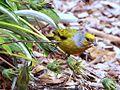 Cape Canary, Serinus canicollis, male at Kirstenbosch (8236009450).jpg
