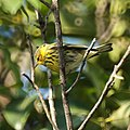 Cape May Warbler (5270947260).jpg