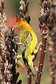 Cape Weaver, Ploceus capensis at Walter Sisulu National Botanical Garden - male (9645113789).jpg