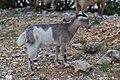 Capra aegagrus (Chèvre sauvage) - 55.jpg