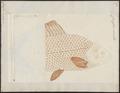 Carassius auratus - 1700-1880 - Print - Iconographia Zoologica - Special Collections University of Amsterdam - UBA01 IZ15000045.tif