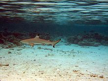 A small shark swimming over a sandy flat with reef rocks in the background and the water surface above