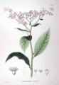 Cardiandra alternifolia SZ63.png