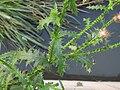 Carduus crispus R0011675.jpg