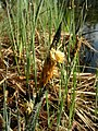 Carex elata inflorescens (05).jpg