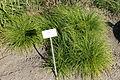 Carex montana - Bergianska trädgården - Stockholm, Sweden - DSC00549.JPG