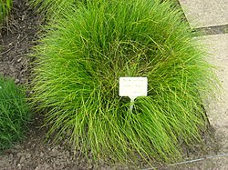 Carex umbrosa - Berlin Botanical Garden - IMG 8620.JPG