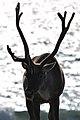 Caribou (Rangifer tarandus) - Port au Choix, Newfoundland 2019-08-19 (14).jpg