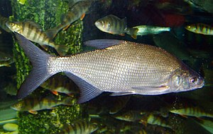 Common bream - Common bream (Abramis brama)