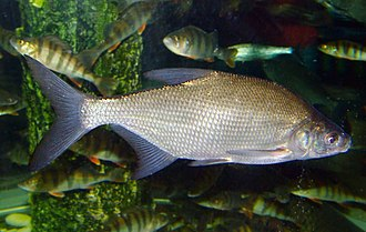 Coarse fishing - Image: Carp bream 1