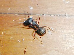 Carpenter ant.jpg