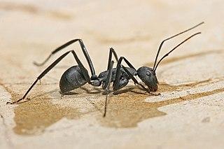 Carpenter ant Genus of ants