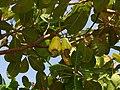 Cashew Brazil fruit 2.jpg
