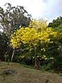 Cassia fistula in full bloom in Anaimalai Tiger Reserve3.jpg