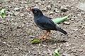 Catharus fuscater Monteverde 01.jpg