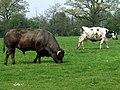 Cattle by Herons Gate Farm, Shropshire - geograph.org.uk - 401699.jpg