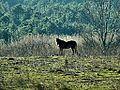 Cavallo in lontananza.jpg