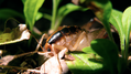 Cave cricket 1 (6010427475).png