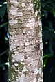 Cecropia obtusifolia 6zz.jpg