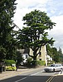 Cedar tree, Usk - geograph.org.uk - 1425507.jpg