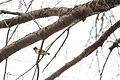 Cedar waxwing (25029386123).jpg