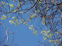 Celtis occidentalis 01707.jpg