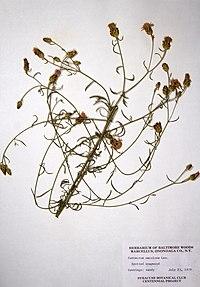 Centaurea stoebe ssp. micranthos BW-1979-0723-9924.jpg