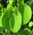 Cercidiphyllum japonicum 04 by Line1.jpg