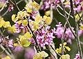 Cercis siliquastrum - Judas-tree 03.jpg