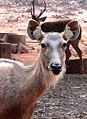 Cervus unicolor (Sambar deer) at IGZoo Visakhapatnam 04.jpg