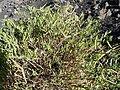 Chã das Caldeiras-Periploca laevigata subsp. chevalieri (3).jpg