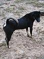 Chó đen (chó mực) ở Cát Sơn (5).jpg