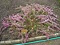 Chamaecytisus purpureus - Berlin Botanical Garden - IMG 8597.JPG