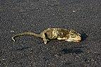 Chamaeleo zeylanicus roadkill IMG 4097.jpg