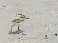 Charadrius nivosus (chick running).jpg