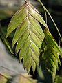 Chasmanthium latifolium Obiedka szerokolistna 2011-09-11 05.jpg