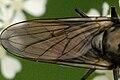 Cheilosia.variabilis9.-.lindsey.jpg