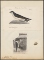 Chelidon urbica - 1700-1880 - Print - Iconographia Zoologica - Special Collections University of Amsterdam - UBA01 IZ16700193.tif
