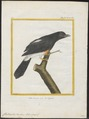 Chelidoptera tenebrosa - 1700-1880 - Print - Iconographia Zoologica - Special Collections University of Amsterdam - UBA01 IZ16800015.tif