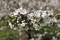 Cherry tree blossom 2020 G2.jpg
