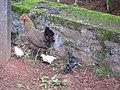 Chicken - കോഴി 001.jpg