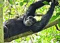 Chimpanzee, Kibale, Uganda (15300403643).jpg